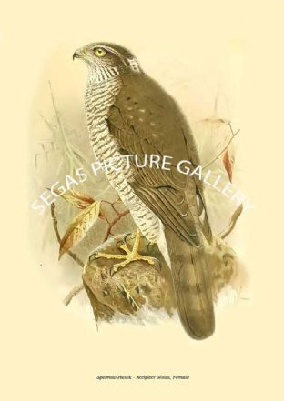 Sparrow-Hawk - Accipiter Nisus, Female